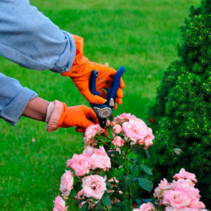 giardinaggio rose