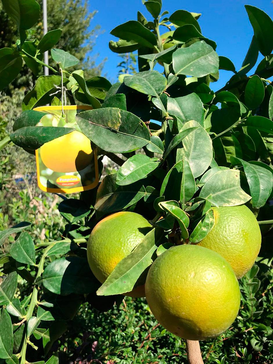 ciavattini garden agrumi