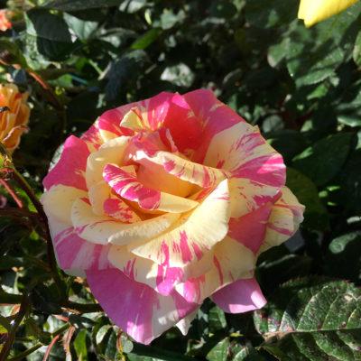 rose fioriture Ciavattini Garden