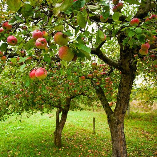 corso potatura alberi da frutto Ciavattini garden