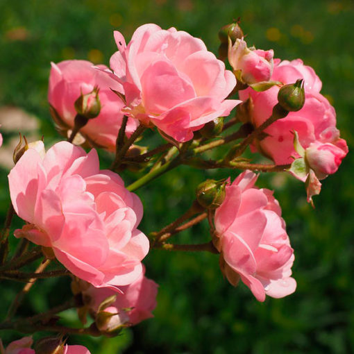 corso giardinaggio rose Ciavattin garden