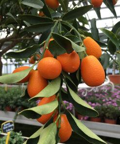 corso giardinaggio agrumi Ciavattini