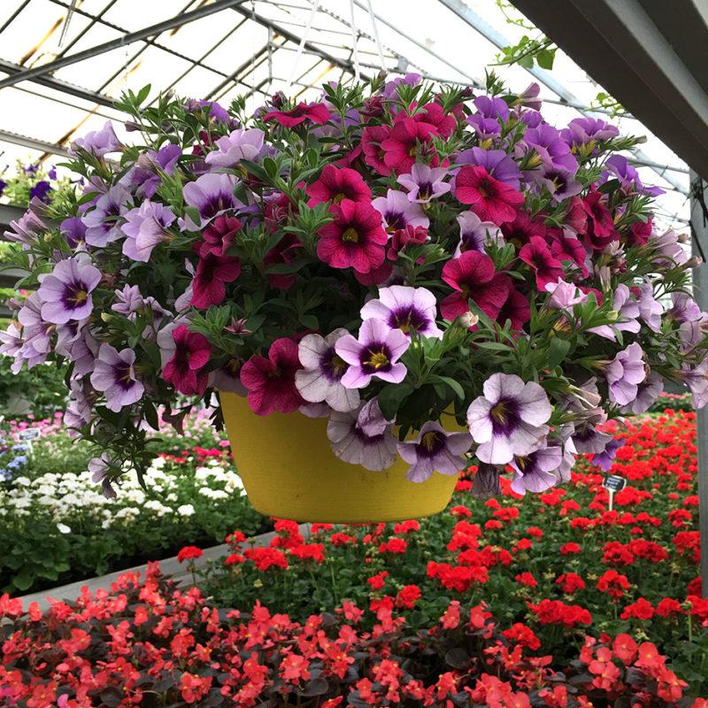 Le Calibrachoa sono oggi tra le piante più utilizzate per vasi, panieri appesi e per decorare davanzali e aiuole.