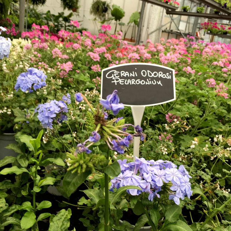 gerani odorosi ciavattini garden